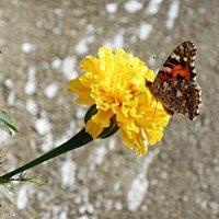 Метелик :: Степан Карачко
