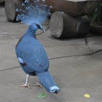 Веероносный венценосный голубь :: Dana