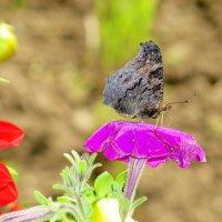 Бабочка :: Геннадий Храмцов