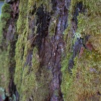 Мох на дереве :: Андрей Наумов