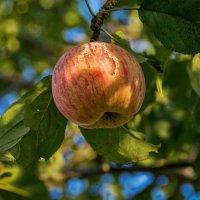 Осеннее яблоко :: Андрей Дворников
