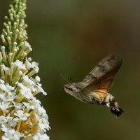 "Бабочка-""колибри :: Павел Руденко"