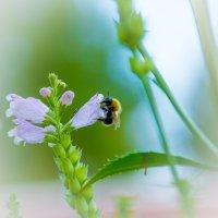 Пчела на цветке :: Михаил Ананьев