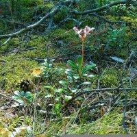 Лесной цветочек :: Светлана Лысенко