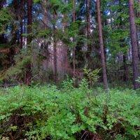 По чернику в лес пойдём :: Svetlana27