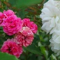 Сентябрь,вечер,розы... :: Тамара (st.tamara)