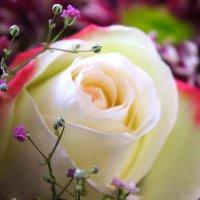 White Roses :: Константин