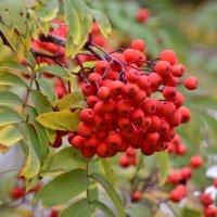 Нарядилась осень красною рябиною... :: galina tihonova