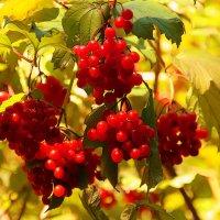 Осенние гроздья :: Alexander Andronik
