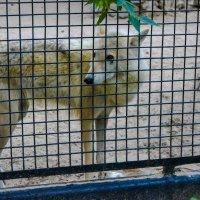 волк в клетки :: Света Кондрашова