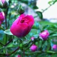 Розы :: Анна