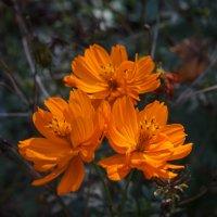 Цветы осенние. :: Андрей Нибылица