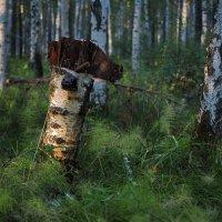 Ещё не очень старый стоит пенёк в лесу... :: Александр Попов