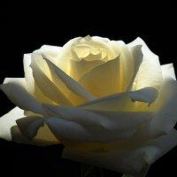 Роза :: Victoria
