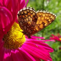 Прозрачных крыльев бархатный размах к цветку стремится в нежные объятья... :: Елена Ярова
