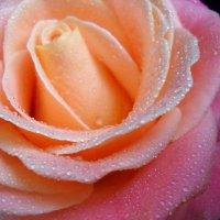 Разноцветная Роза :: Victoria