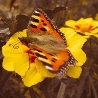бабочка :: Александра Тетерина
