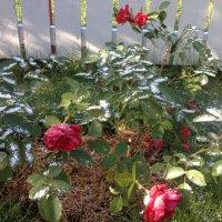 Нежданный снег :: Лариса Журавлева