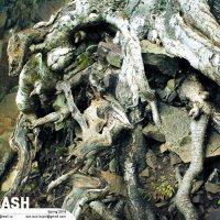 Железная хватка древесных корней :: Son Eun Kuyol