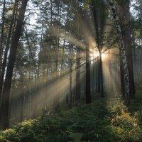 утро в лесу. :: Владилен Панченко