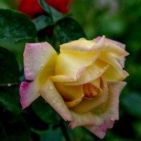 розы в моем саду :: Елена Митряйкина