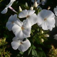 Муха на цветке. :: zoja