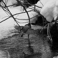 Снегири купаются в ледяной купели :: Екатерина Торганская