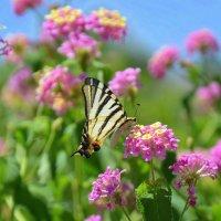 Бабочка Парусник Подалирий на цветке лантане! :: Оля Богданович