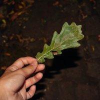 зелёный дубовый лист :: Света Кондрашова