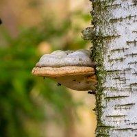 Грибное дерево :: Владимир Лазарев