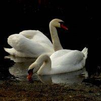 Лебеди :: Evgenij Schleinikov