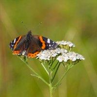 А бабочка крылышками бяк-бяк-бяк..... :: Олег Кулябин