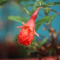 Цветок карликового граната :: Marina K