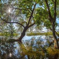 Ажурные ивы на берегу озера Врево :: Фёдор. Лашков