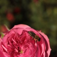 пчелка Майя :: Анна Шишалова