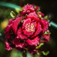 невиданный цветок :: Елена Суксина