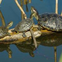 Красноухая черепаха :: Павел Руденко