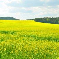 Желтые поля :: Николай Танаев