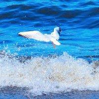 Чайка над волной :: Виктор Шандыбин