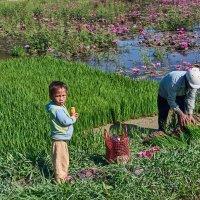 Вьетнам. Озеро лотосов и рисовые делянки :: Минихан Сафин