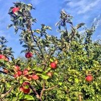 Щедрая осень. Высоко на дереве яблоки созрели,солнышком напитаны спелые бока. :: Валентина ツ ღ✿ღ