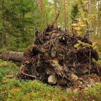 И на камнях растут деревья ... :: Александр Алексеенко