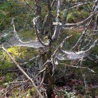 Паутиновое дерево :: Svetlana27