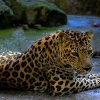 леопард :: alex graf