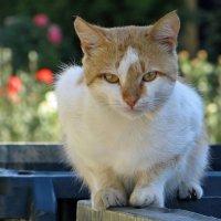 В глазах кота – душа кота… :: Татьяна Смоляниченко