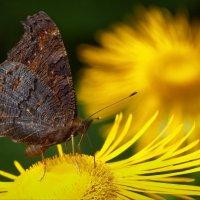 Бабочкино счастье :: Юрий Кольцов
