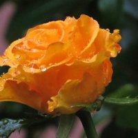 озябшая роза :: валя
