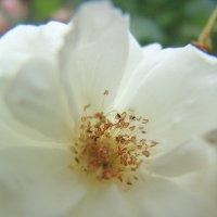 Белый цветик. :: Оля Богданович