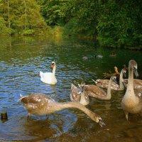 Лебединое озеро (серия) Перерыв на обед :: Nina Yudicheva