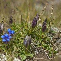 горный цветок :: Олег Никитин